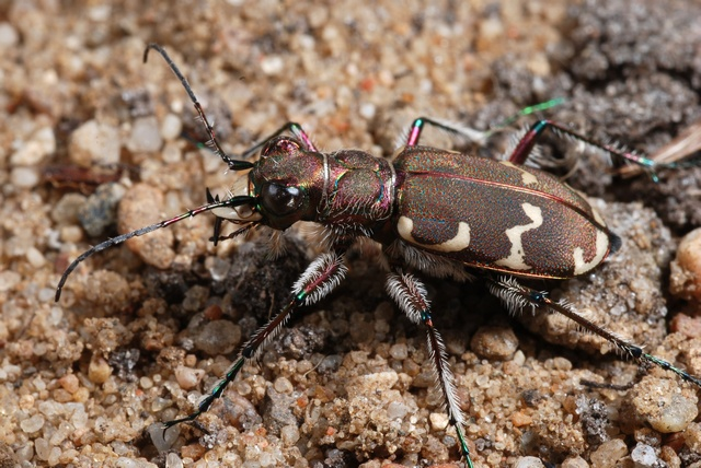 Cicindela hybrida photo