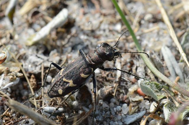 Cicindela sylvatica photo