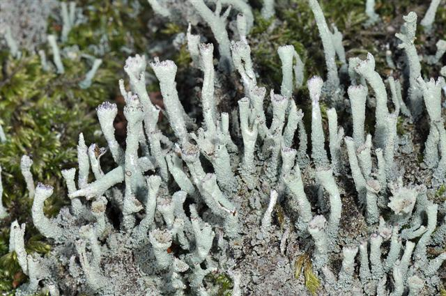 Cladonia polydactyla photo