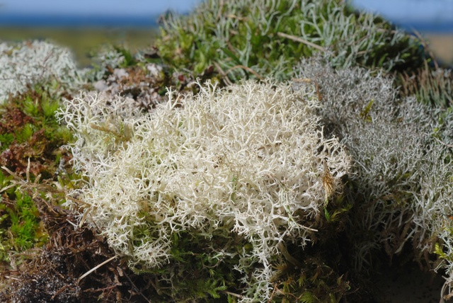 Cladonia portentosa photo