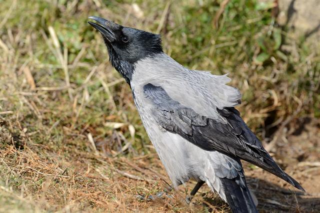 Corvus corone cornix photo