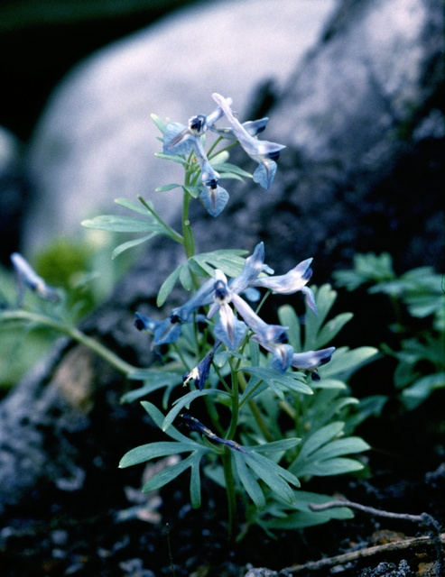 Corydalis cashmeriana photo