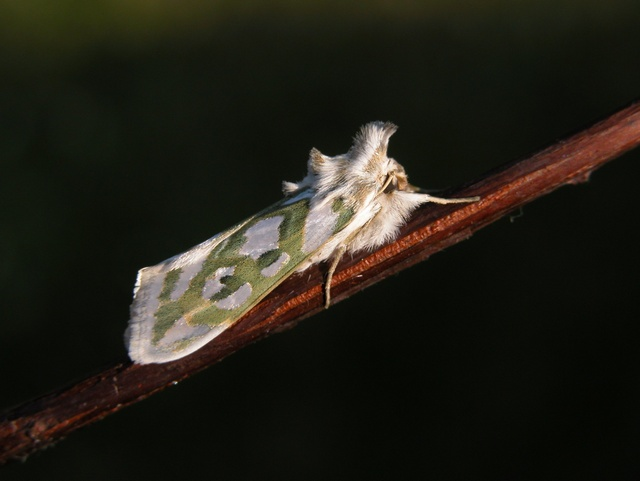 Cucullia argentea photo