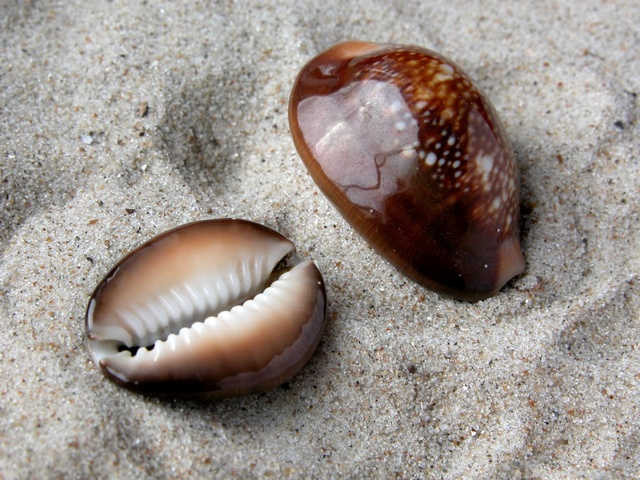 Cypraea caputserpentis photo