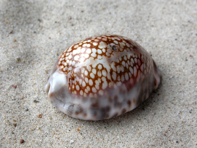 Cypraea maculifera photo