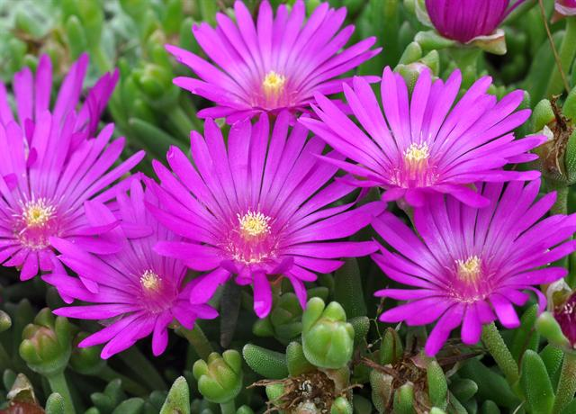 Delosperma sutherlandii photo