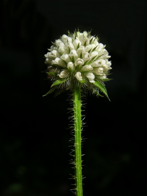 Dipsacus pilosus photo