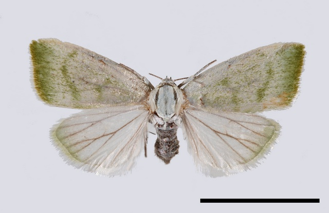 Earias vernana photo