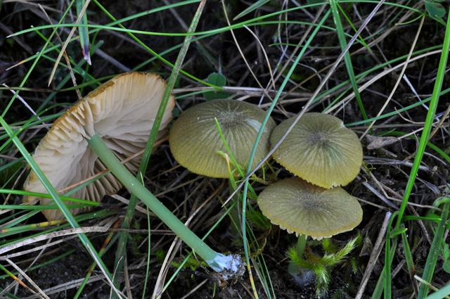 Entoloma incanum photo