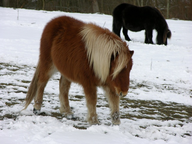 Equus caballus (Shetlandspony) photo