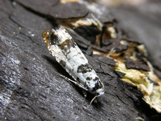 Eucosma campoliliana photo