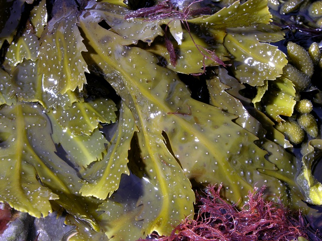 Fucus serratus photo