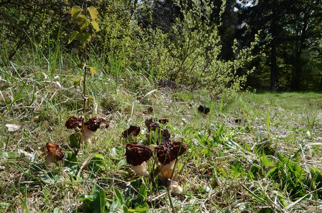 Gyromitra esculenta photo