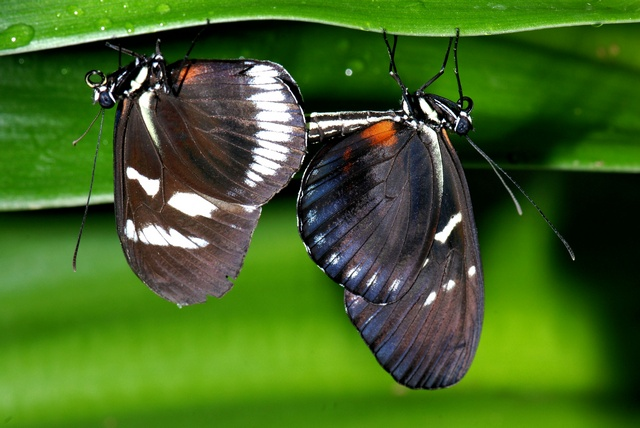 Heliconius cydno photo
