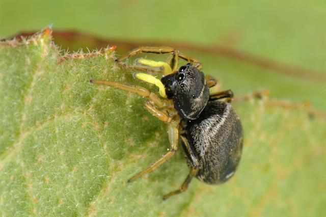 Heliophanus cupreus photo