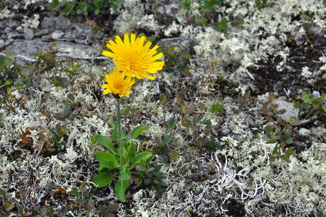 Hieracium section alpina photo
