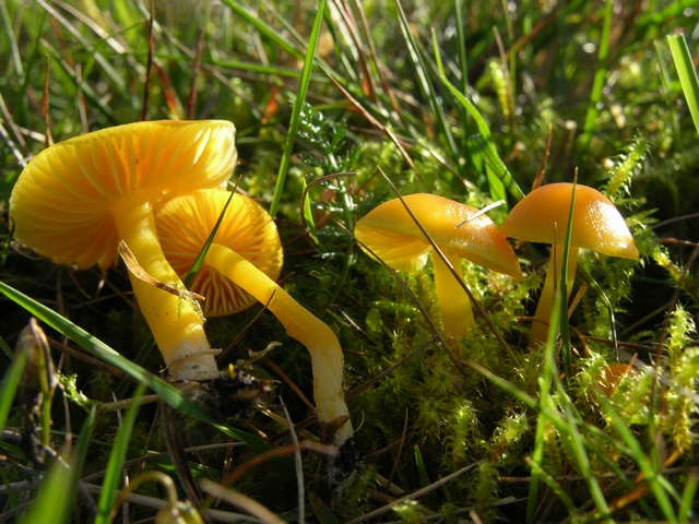 Hygrocybe chlorophana photo