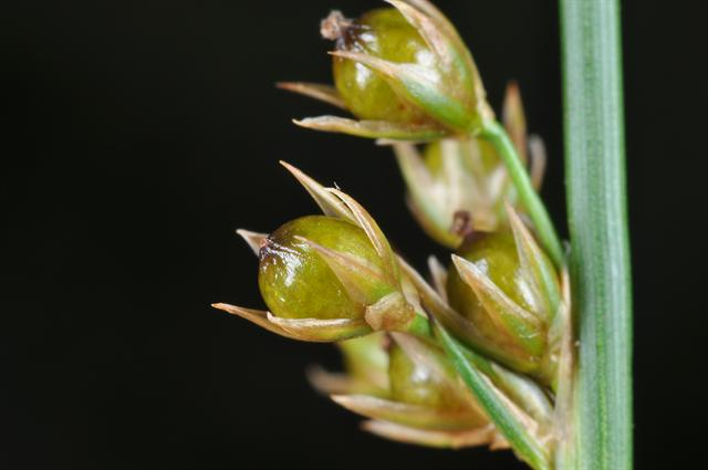 Jonc (Juncus filiformis)