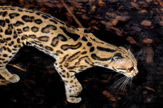 Leopardus wiedii photo