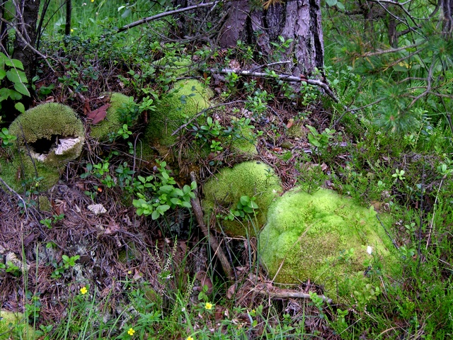 Leucobryum glaucum photo
