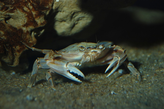 Liocarcinus sp. photo