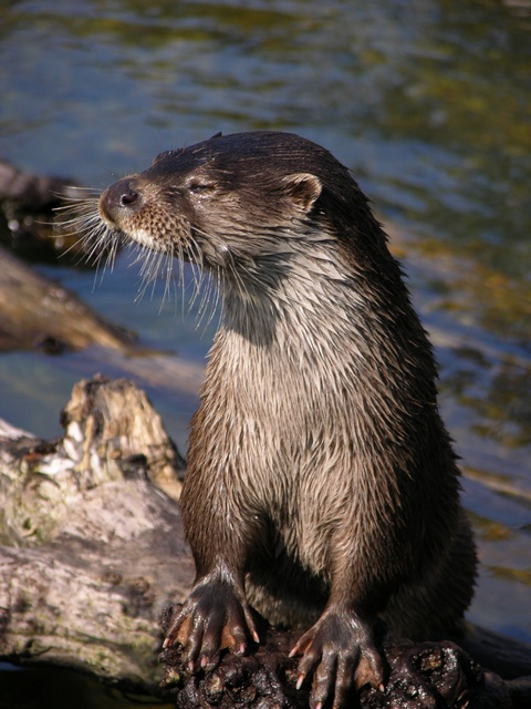 Loutre d Europe (Lutra lutra)