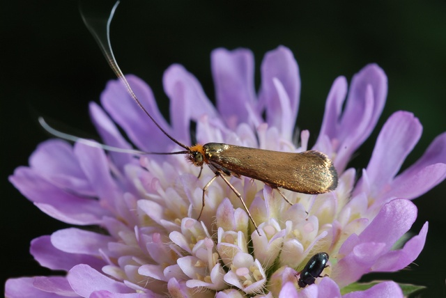 Nemophora metallica photo