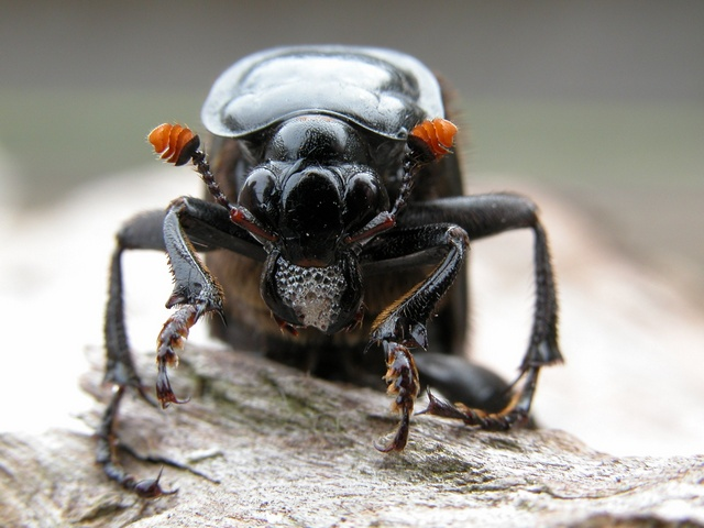 Nicrophorus humator photo