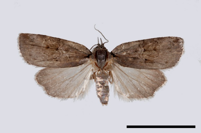 Nycteola asiatica photo