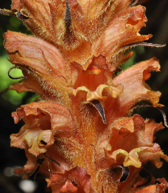 Orobanche lucorum photo