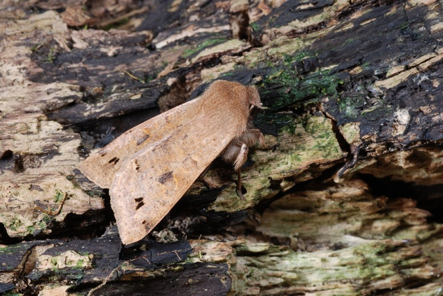 Orthosia munda photo