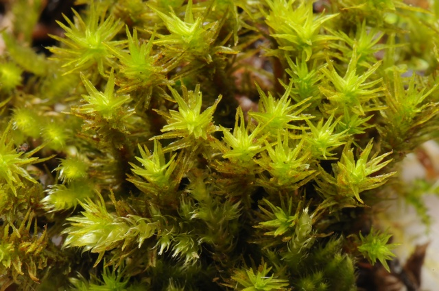 Orthotrichum lyellii photo