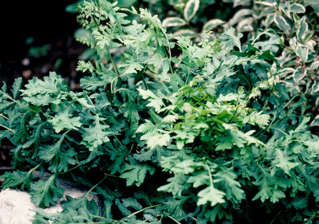 Osmunda regalis (Cristata) photo