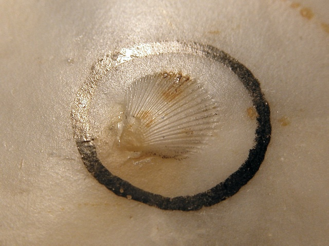 Pecten sp. photo