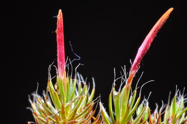 Polytrichum piliferum photo