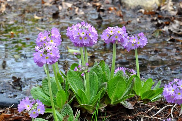 Primula denticulata photo