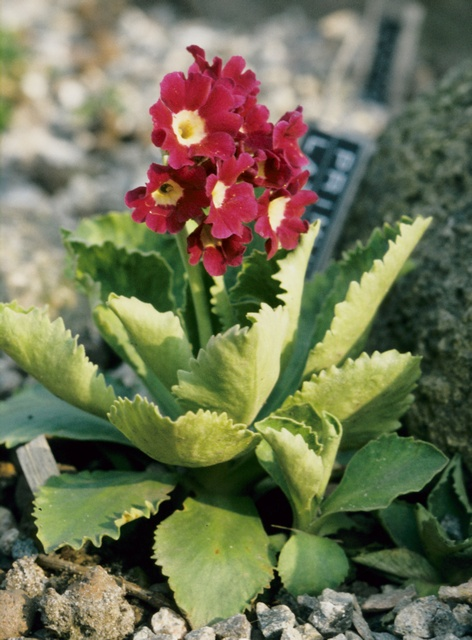 Primula latifolia hybrid photo