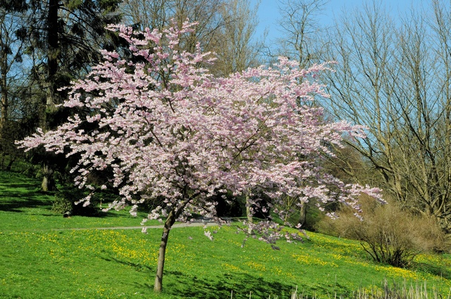 Prunus serrulata photo