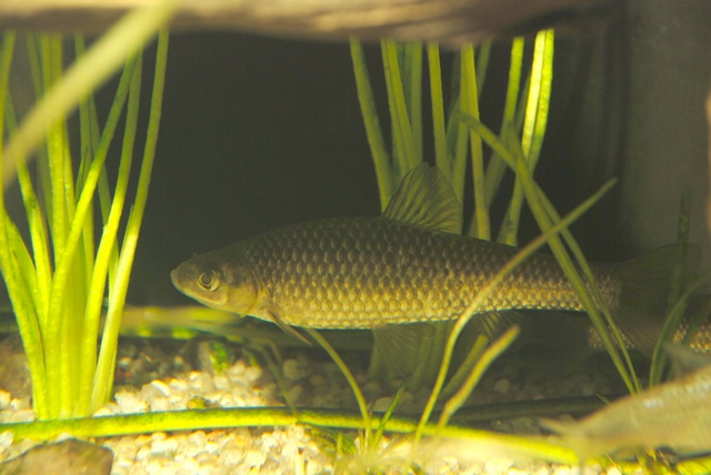 Pseudorasbora parva photo