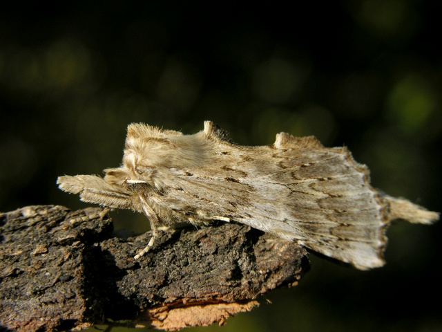 Pterostoma palpina photo