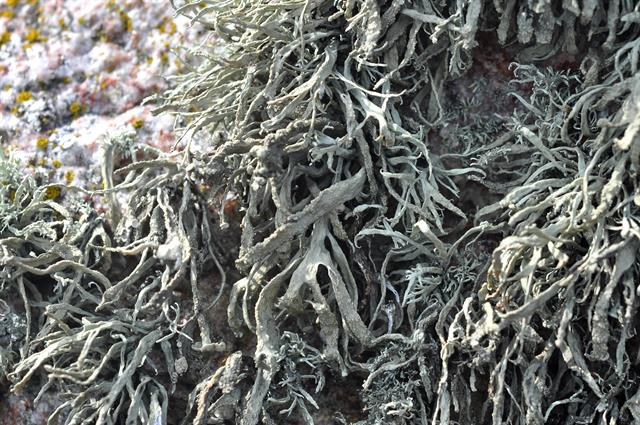 Ramalina polymorpha photo