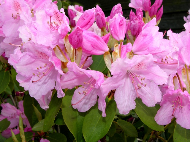 Rhododendron (Moerheims Pink) photo