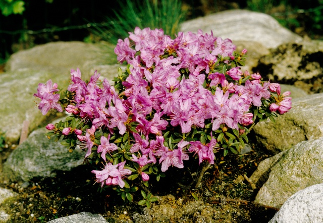 Rhododendron (Pink drift) photo