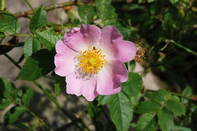 Rosa canina ssp. canina photo