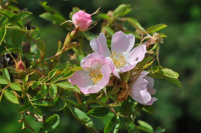 rosier petites fleurs rosa micrantha biopix photo image 100961. Black Bedroom Furniture Sets. Home Design Ideas