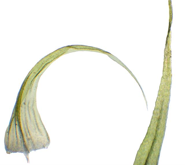 Sanionia uncinata photo
