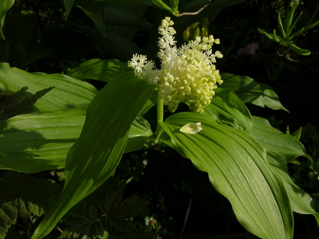Smilacina racemosa photo