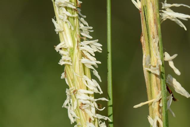 Spartina alterniflora photo