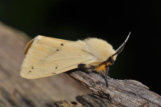 Spilosoma lutea photo