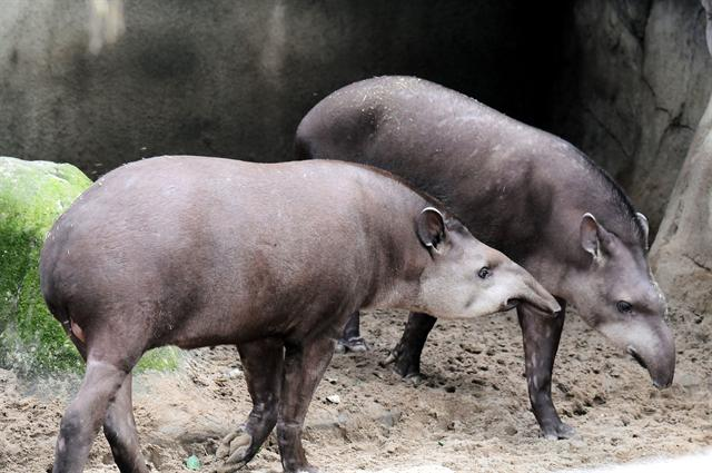 Tapirus terrestris photo